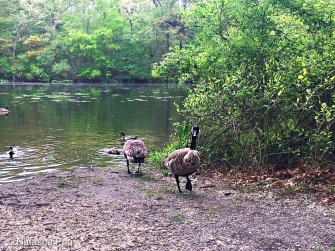Massapequa Preserve geese in the lake