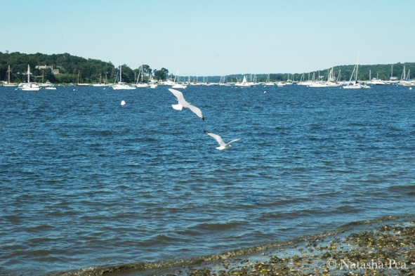 Oyster Bay seagulls